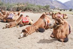 A herd of double humped Bactrian camels in Nubra Valley. A herd of unique Bactrian species of double humped camels idling around in the deserts of Nubra Valley Royalty Free Stock Image
