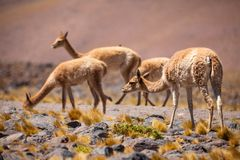 Vicuñas in the Chilean Altiplano Royalty Free Stock Photo