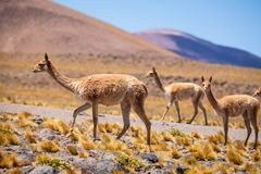 Vicuñas in the Chilean Altiplano Royalty Free Stock Photography