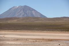 A herd of Vicunas on the Altiplano. A herd of wild Vicunas running around the desert landscape of the Altiplano near Arequipa, Peru stock photography