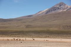 A herd of Vicunas on the Altiplano. A herd of wild Vicunas running around the desert landscape of the Altiplano near Arequipa, Peru royalty free stock image