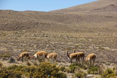 A herd of Vicunas on the Altiplano. A herd of wild Vicunas running around the desert landscape of the Altiplano near Arequipa, Peru royalty free stock photo
