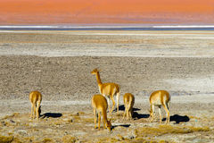 Herd of vicunas Stock Photo