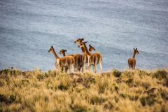 Herd of vicunas near lake Titicaca royalty free stock image