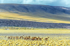 Herd of Vicunas Royalty Free Stock Photography