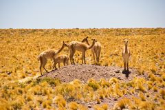 Herd of Vicunas on small hill in pampas / Chile / Atacama royalty free stock photo