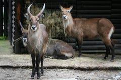 Herd of Water-buck Stock Image