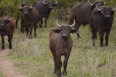 Herd of Water Buffalo in African plains Stock Image