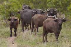 Herd of Water Buffalo in African plains Stock Photo