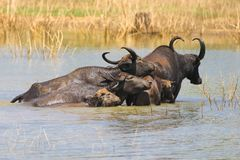Herd of water buffalo Bubalus bubalis swimming in lake. Herd of water buffalo Bubalus bubalis bathing in pond Royalty Free Stock Photography
