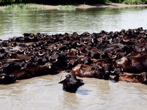 A herd of water buffalo Royalty Free Stock Photos