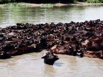 A herd of water buffalo Royalty Free Stock Photos