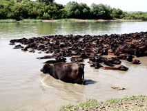 A herd of water buffalo Royalty Free Stock Images
