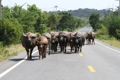 Herd of water buffalo royalty free stock images