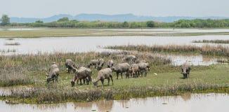 Herd of water buffalo in wetland Stock Image