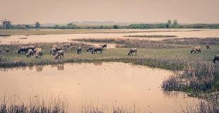 Herd of water buffalo in wetland Royalty Free Stock Image