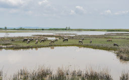 Herd of water buffalo in wetland, Thailand Royalty Free Stock Image