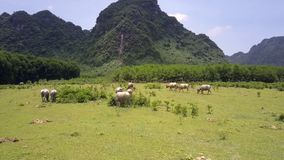 Herd of water buffaloes eats grass on meadow upper view stock footage