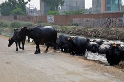 Herd of water buffaloes emerges from canal Lahore Pakistan. Lahore, Pakistan - September 12, 2012: A herd of black water buffaloes emerges from a canal besides a Stock Images