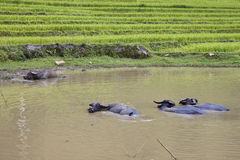 Herd of water buffaloes Royalty Free Stock Image
