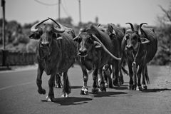 A herd of water buffaloes walking along the road royalty free stock photos