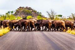 Herd of Water Buffalos crossing the road in Kruger National Park Royalty Free Stock Image