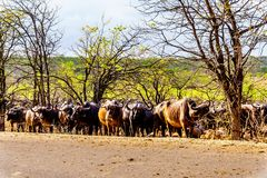 Herd of Water Buffalos ready to cross the road in Kruger National Park Stock Photography