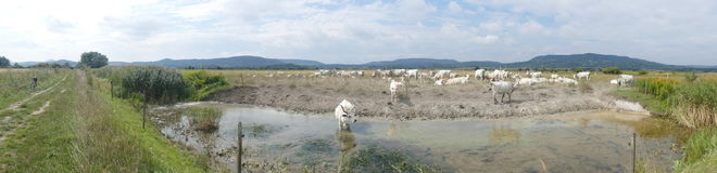Panorama of scenic Hungarian landscape with grey cattle. The herd by the water in the Kali basin in Western Hungary royalty free stock images