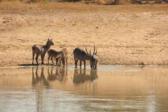 Herd of Waterbuck stock photos