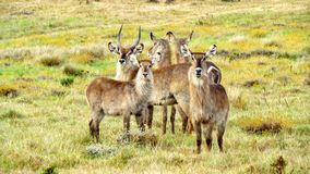 Herd of Waterbuck in Africa. Herd of Waterbuck on Gondwana Game Reserve, Western Cape, South Africa Stock Photos