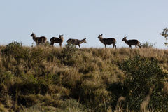 Herd of waterbuck - Kobus ellipsiprymnus Royalty Free Stock Photo