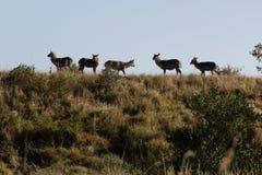Herd of waterbuck - Kobus ellipsiprymnus. Herd of waterbuck standing on a grassy ridge Royalty Free Stock Photo