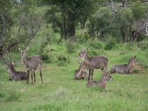 A Herd of Waterbuck in Madikwe, South Africa Royalty Free Stock Photography
