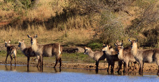 Herd of waterbuck at the waterhole. A herd of waterbuck at the edge of a waterhole royalty free stock photo