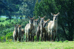 Herd of Waterbucks Royalty Free Stock Photos