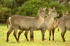 Herd of Waterbucks. A big herd of wild African Waterbuck standing together in the field and watching in a game park in South Africa Royalty Free Stock Photos