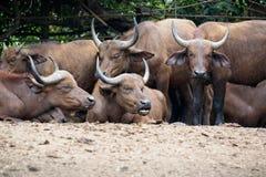 Herd of watusi