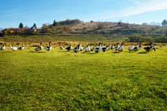 The herd of white adult geese grazing at the countryside on the. Farm on a green grove Royalty Free Stock Images