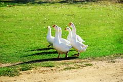 The herd of white adult geese grazing at the countryside on the. Farm on a green grove Royalty Free Stock Photos