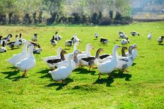 The herd of white adult geese grazing at the countryside on the. Farm on a green grove Stock Image