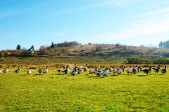 The herd of white adult geese grazing at the countryside on the. Farm on a green grove Royalty Free Stock Photo