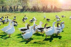 The herd of white adult geese grazing at the countryside on the. Farm on a green grove Stock Photo