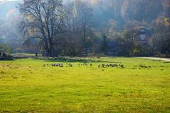 The herd of white adult geese grazing at the countryside on the. Farm on a green grove Stock Images