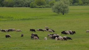 A herd of white and black sheep on a summer green pasture. stock video