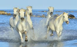 Herd of White Camargue Horses running on the water . Royalty Free Stock Photos
