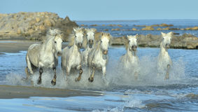 Herd of White Camargue Horses running on the water . Stock Photos