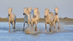 Herd of White Camargue Horses running on the water . Stock Images