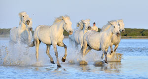 Herd of White Camargue Horses running on the water . Stock Image