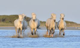 Herd of White Camargue Horses running on the water . Royalty Free Stock Image