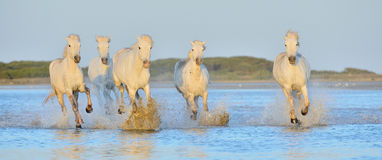 Herd of White Camargue Horses running on the water . Royalty Free Stock Images